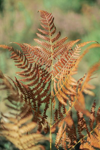 fougères au couleurs d'automne