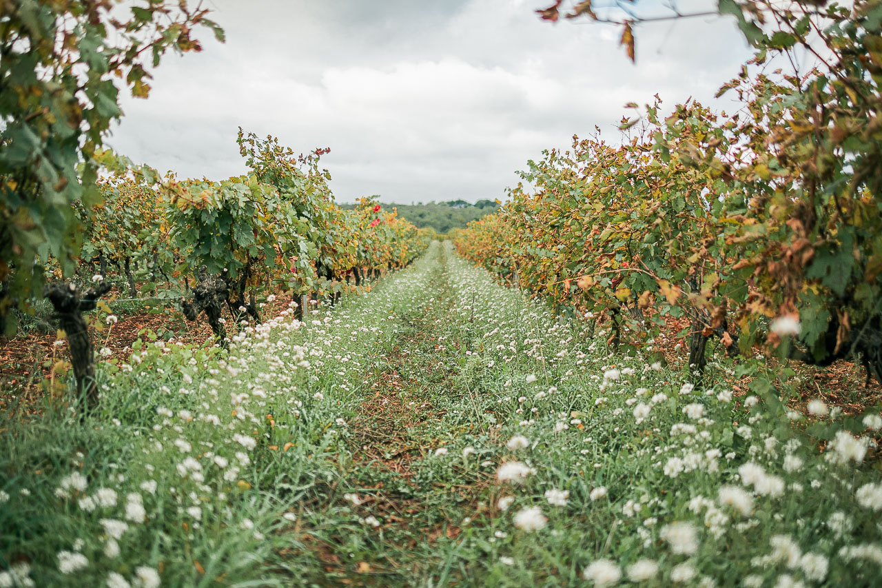 Chemin de fleur entre les vignes