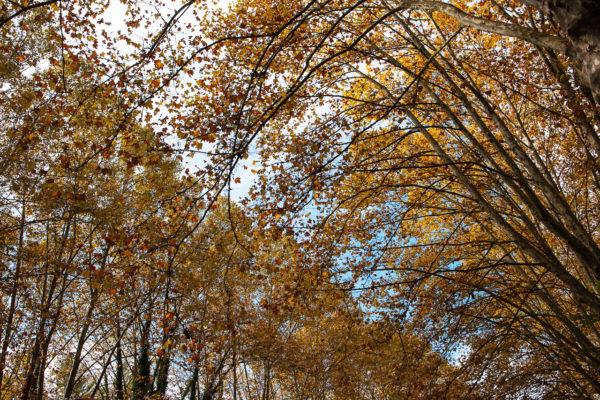 Cimes d'arbres au dessus du Canal du Midi