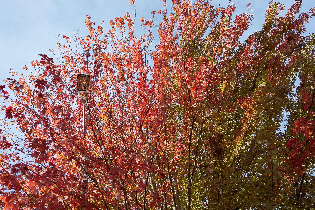 détail d'arbre rouge